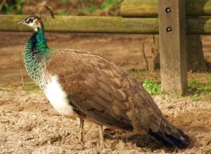 A picture of a female peacock